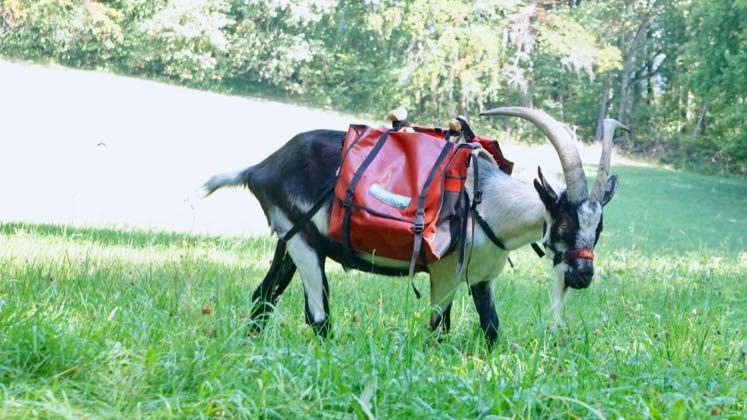 Packgeissen Wanderung Packtier Ziege mit Satteltasche Jurapark Aargau